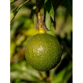 Aguacate Reed Local